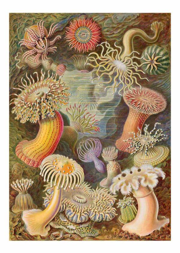Actiniae Ernst Haeckel