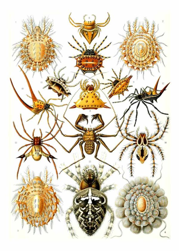 Arachnida van Kunstformen der Natur