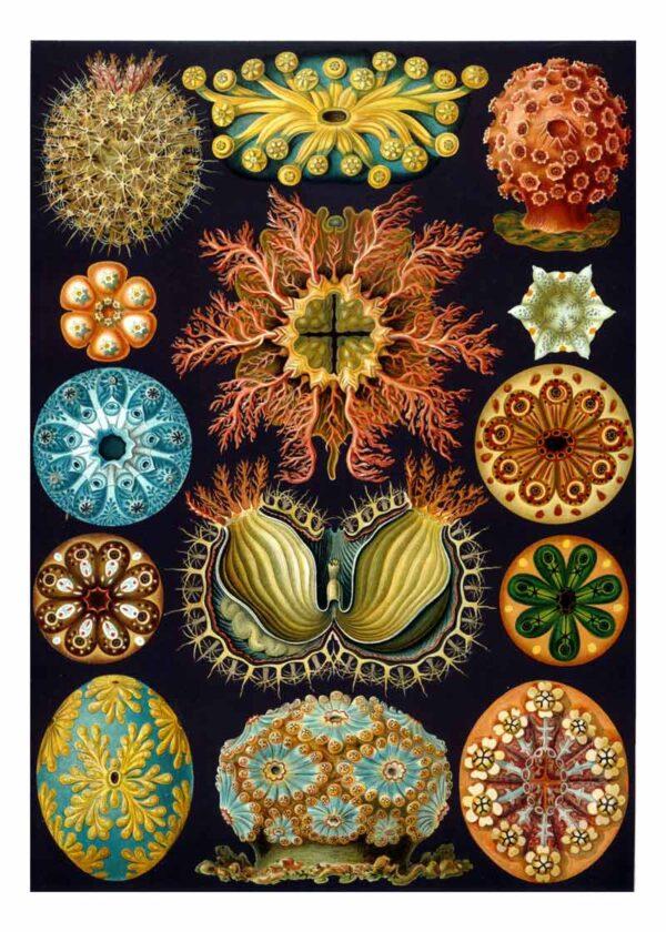 Ernst Haeckel posters van Kunstformen der Natur