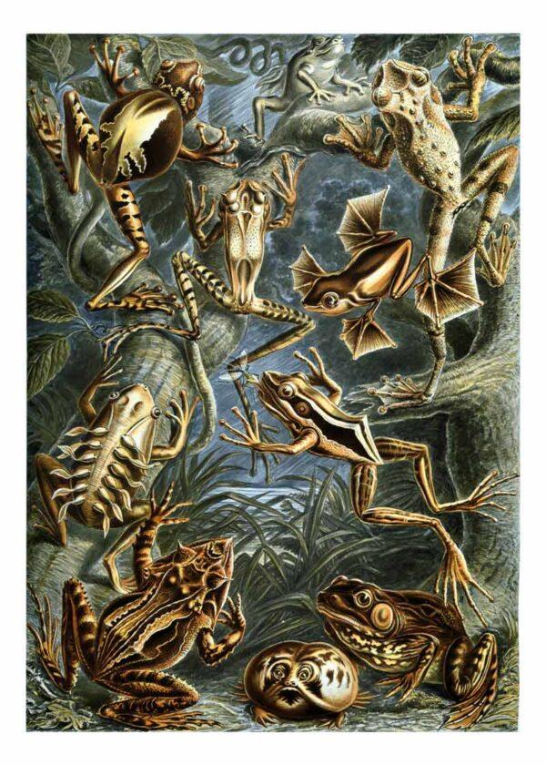 Batrachia Kunstformen der Natur, Ernst Haeckel