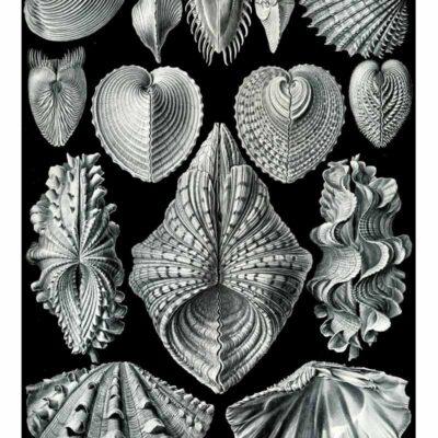 Ernst Haeckel Acephala poster