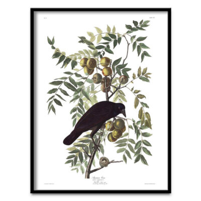 American crow with apples poster