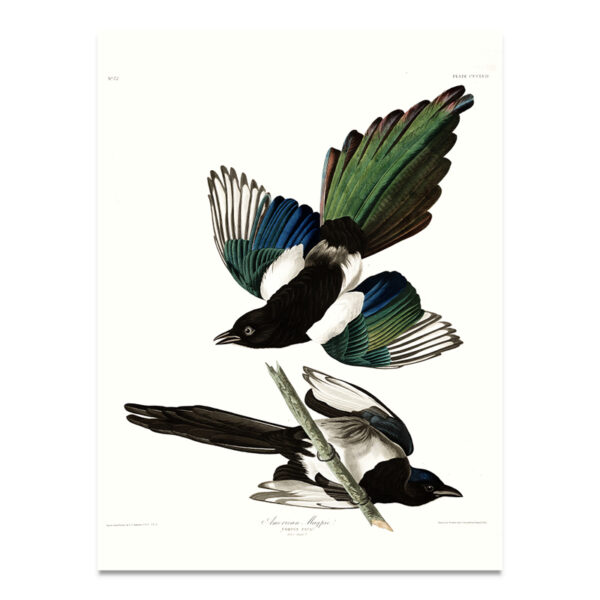 American Magpie poster