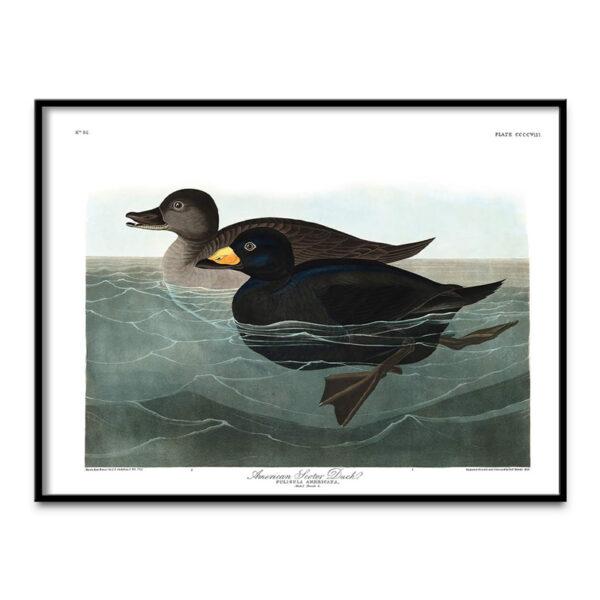 Scoter Duck poster