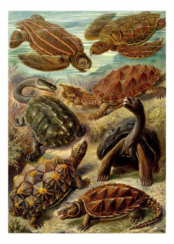 Chelonia poster van Kunst Formen der Natur