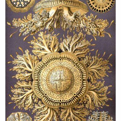 Discomedusae - Ernst Haeckel Kunstformen der Natur