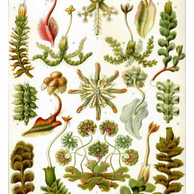 Hepaticae poster