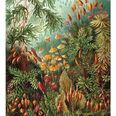 Muscinae poster