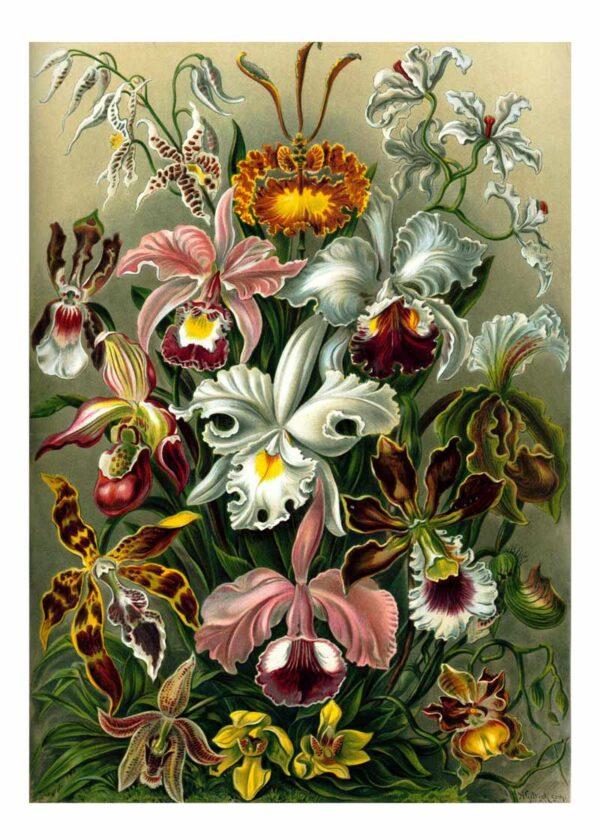 orchidae Ernst Haeckel
