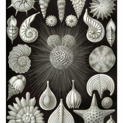 Thalamphora