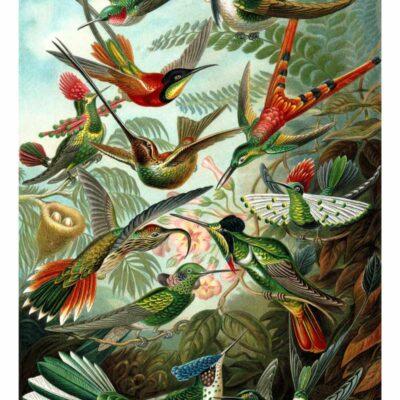 Trochilidae Ernst Haeckel