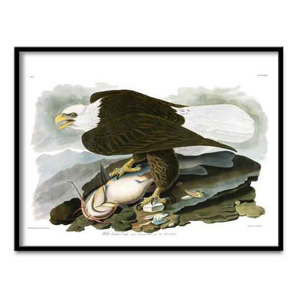 White Headed Eagle poster