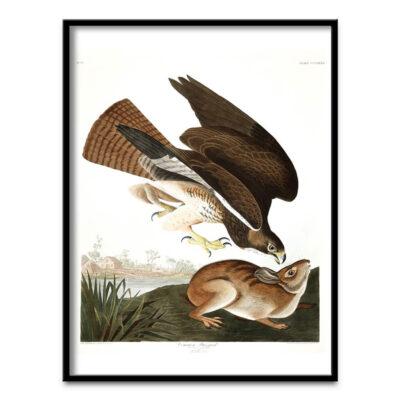 Common Buzzard poster