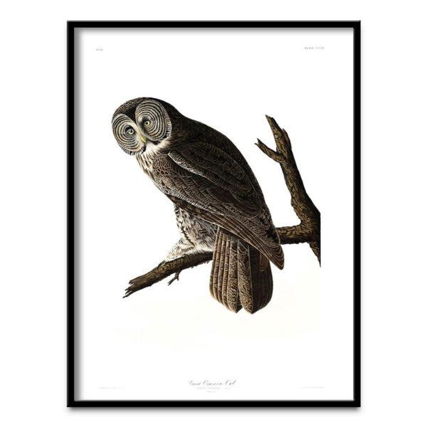Cinerous Owl poster