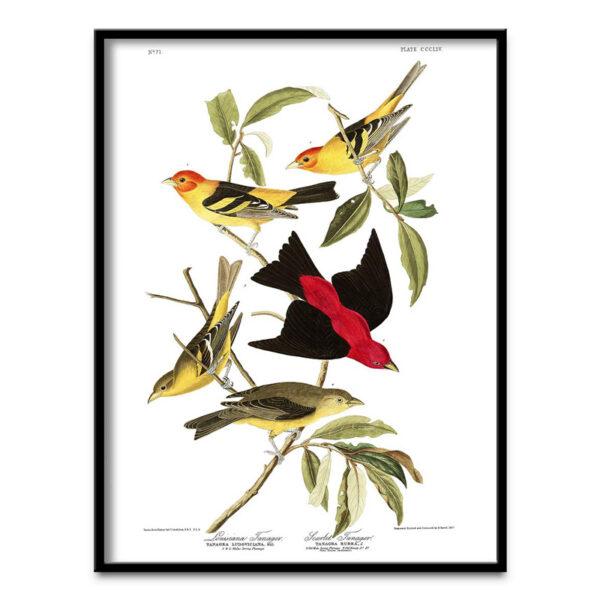 Louisiana Tanager poster