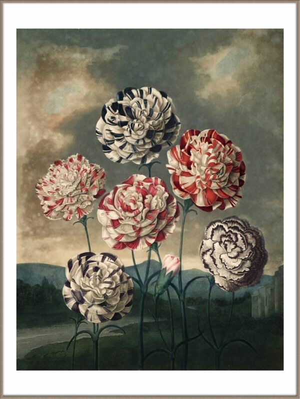 Carnations Flower poster door Robert John Thornton