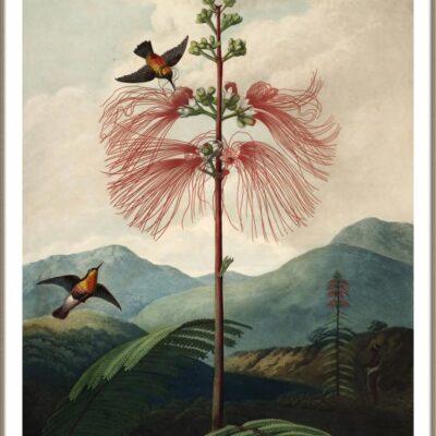 Mimosa grandiflora - Temple of Flora