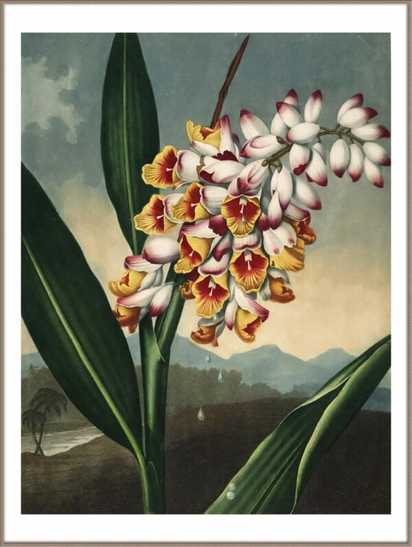 Temple of Flora - The nodding renealmia