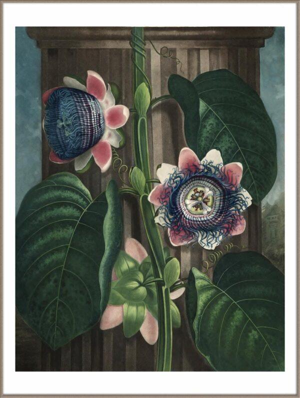 Quadrangular Passion Flower van Temple of Flora