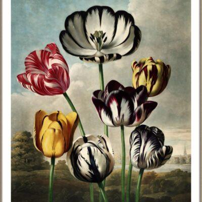 Tulpen poster