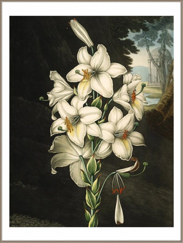 white lily poster door Robert JohnThornton