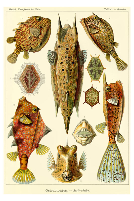 Ernst Haeckel poster of Ostraciontes