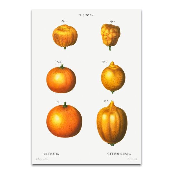 Citrusvrucht poster