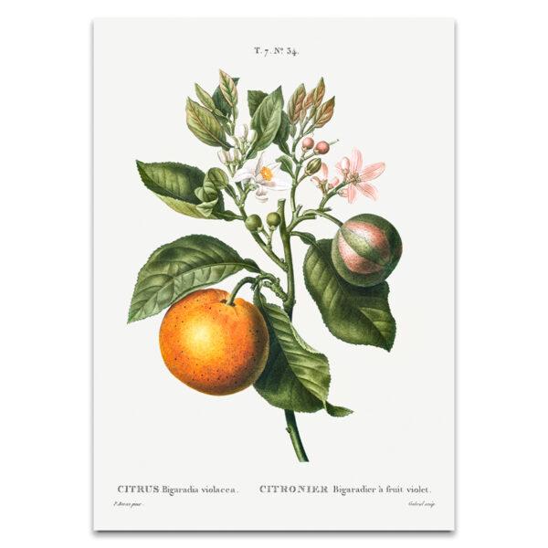 Orange fruit poster