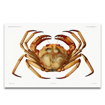 Vintage crab poster 2