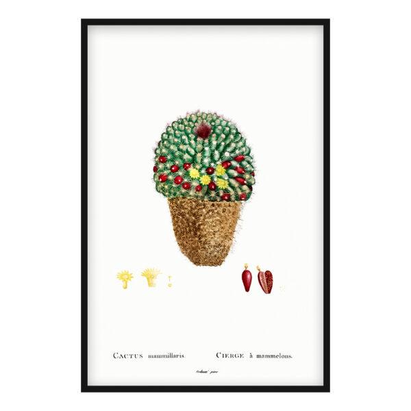 Cactus Mammillaris poster