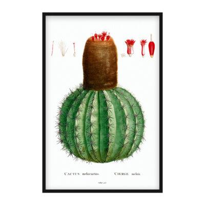 Cactus Melocactus poster