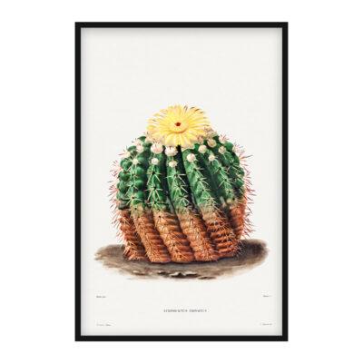 Echinocactus Erinaceus